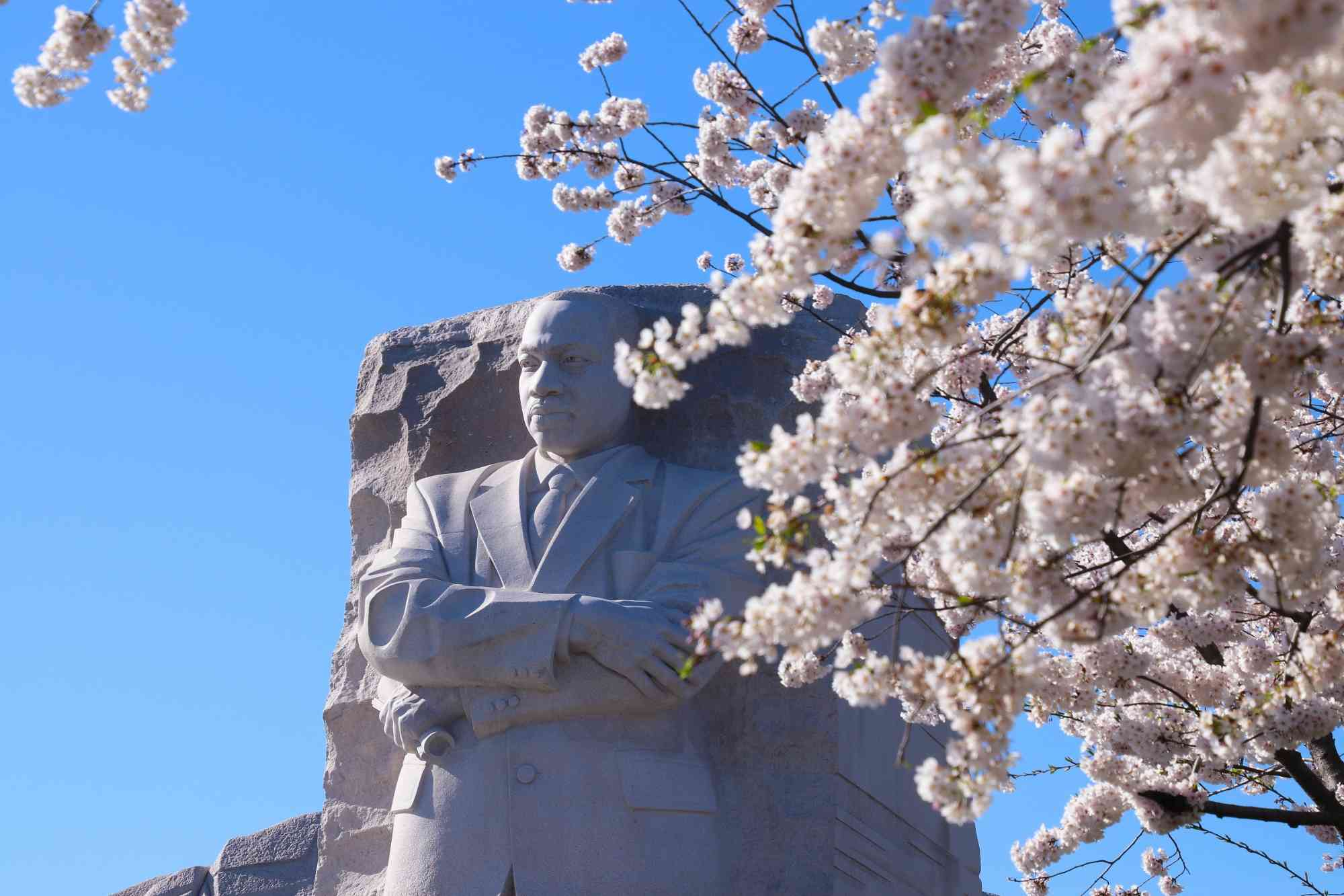 Martin Luther King Jr Memorial with Cherry Blossoms in Washington DC