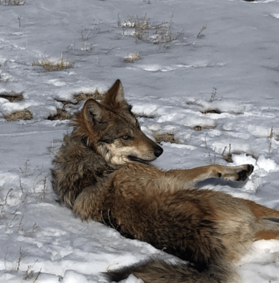 Member of the Pitchfork Canyon Wolf Pack Laying Down in Snow