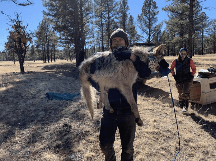Wildlife Technician Walking and Carrying a Sedated Wolf at Field Camp