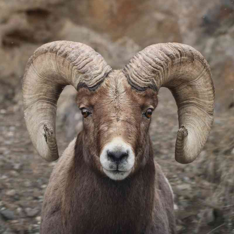 Bighorn Sheep | Defenders of Wildlife
