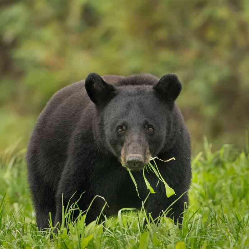 Black bear in the grass