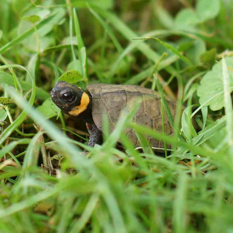 Young Bog Turtle in Grass