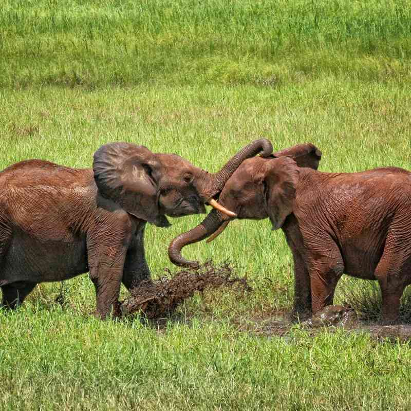 Little Elephants Playing