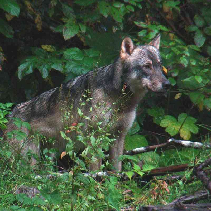 Wolf in the Tongass