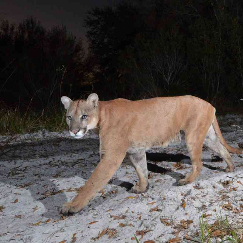 Florida Panther walking at night