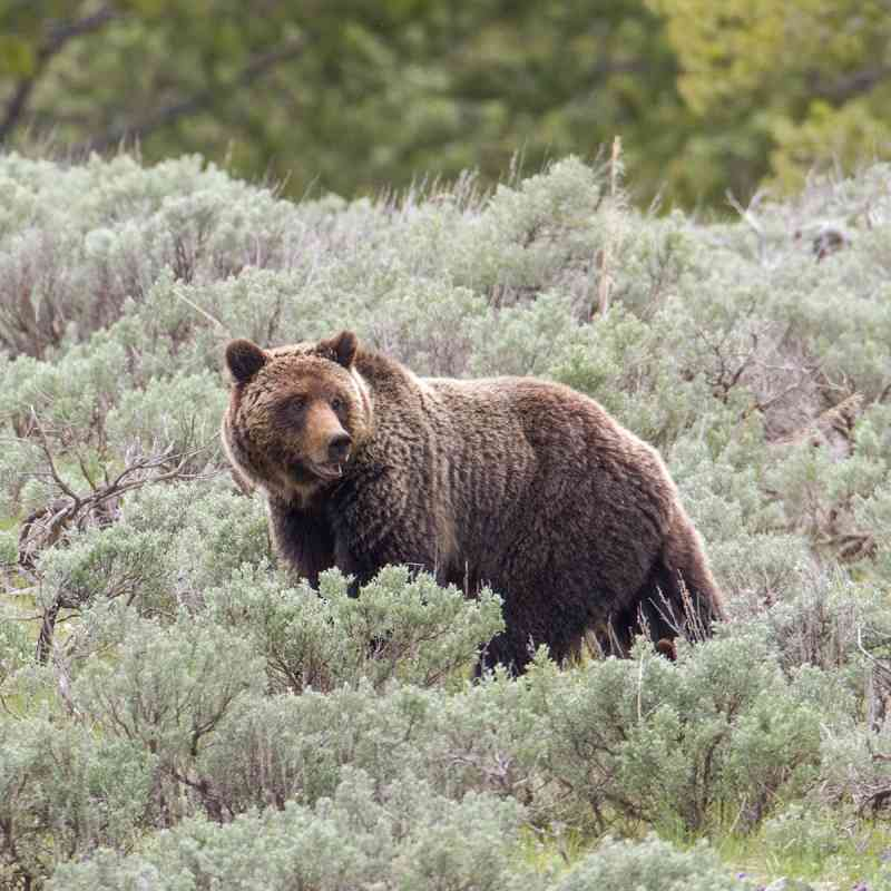 Bringing Back the Great Bear | Defenders of Wildlife