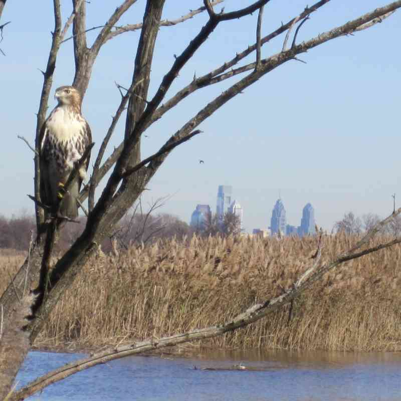 Overlooking the prominent Philadelphia skyline and a hawk from the John Heinz National Wildlife Refuge