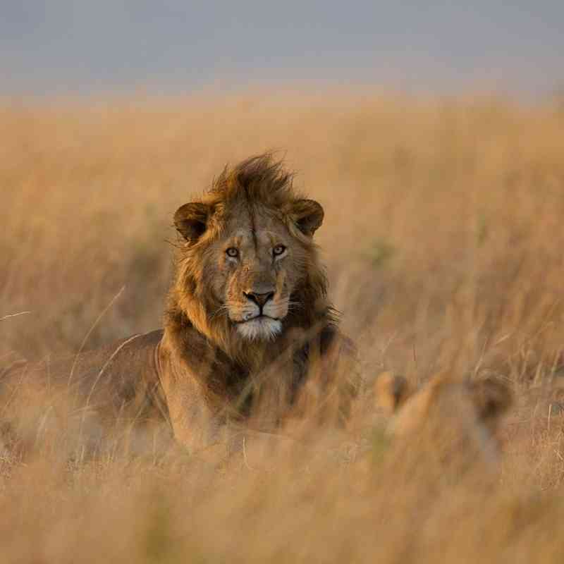 Lion and lioness in the grass