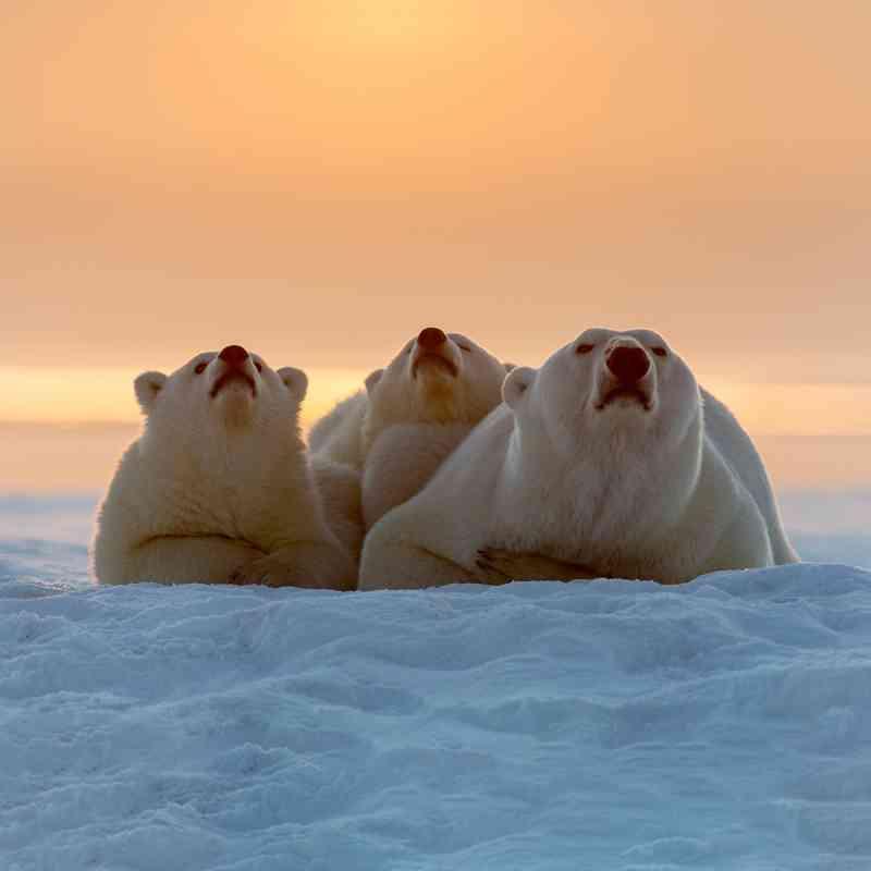 Pacific Walrus | Defenders of Wildlife