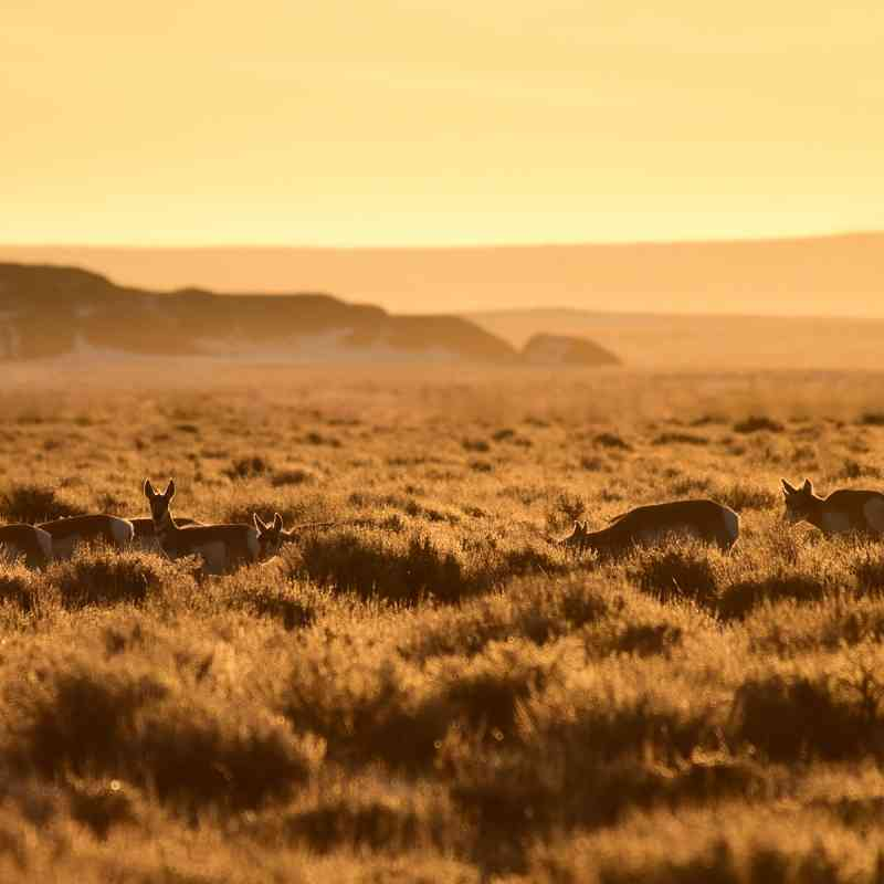 Pronghorn in Sagebrush Sea