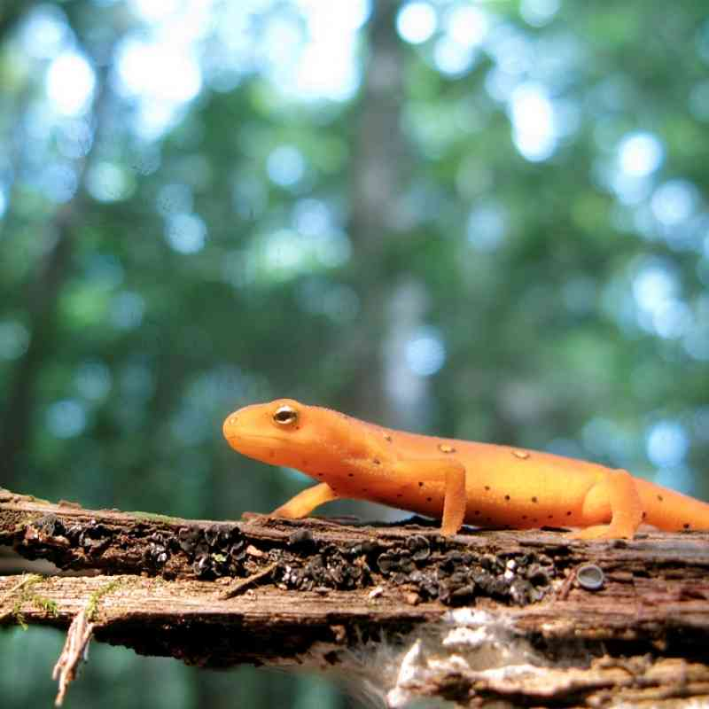 Red eft in new york