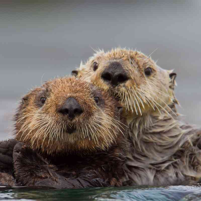 Sea Otters Holding On