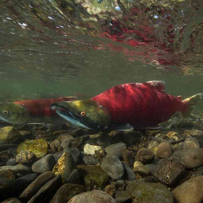 Sockeye Salmon in the Russian River