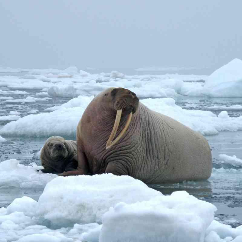 Walrus resting on ice