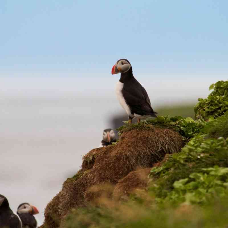 Atlantic puffins in Iceland
