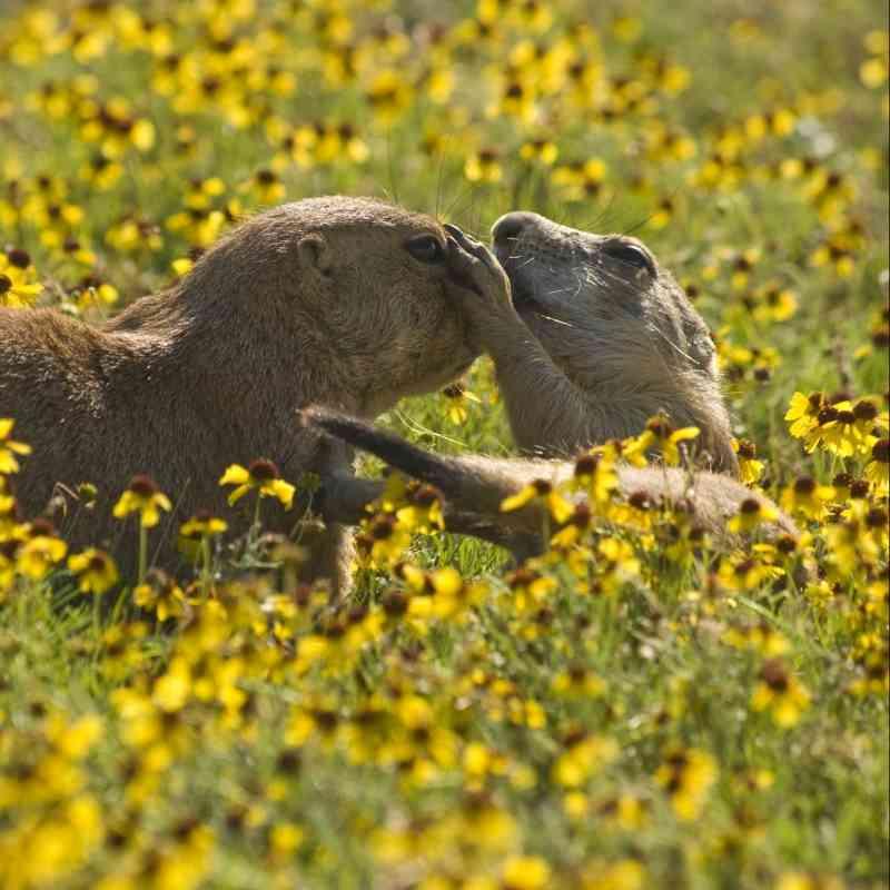 Black-Footed Ferret | Defenders of Wildlife