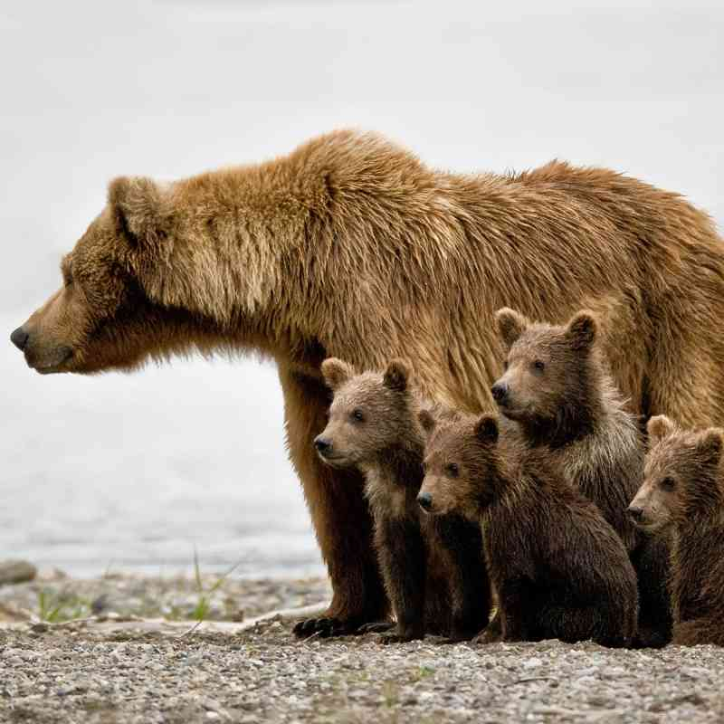 Grizzly Bears with Cubs, Jim Chagares