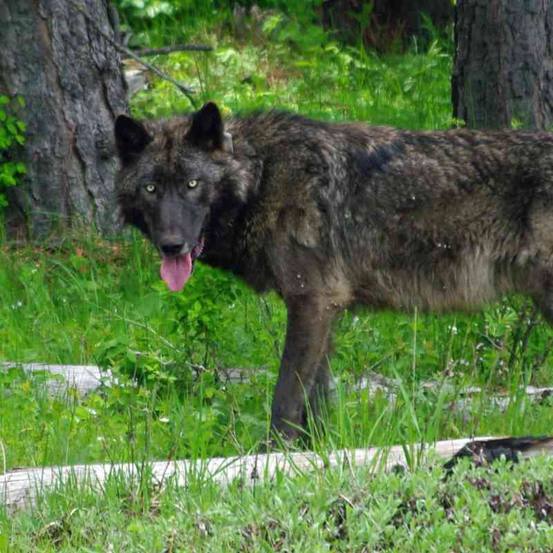 A 100 lb adult male wolf was GPS radio-collared in the Mt Emily unit