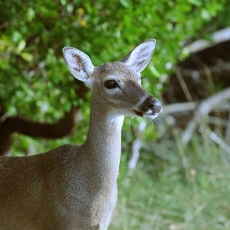 A Key deer at National Key Deer Wildlife Refuge on Big Pine Key in the Florida Keys