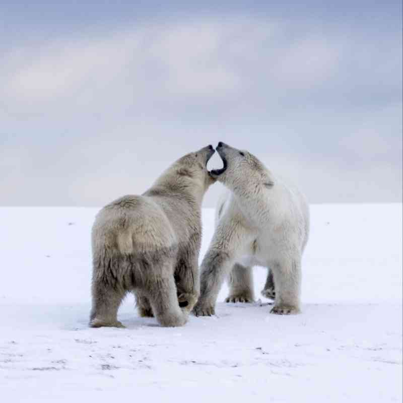 Polar bears Arctic