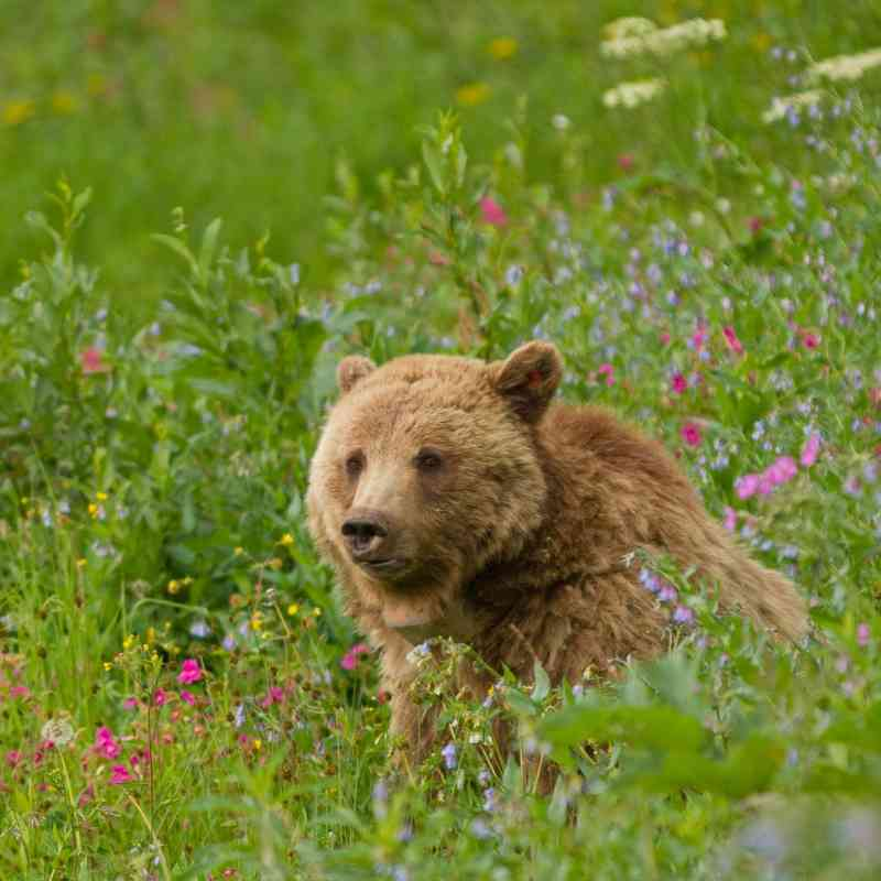 Grizzly bear sow Dunraven Pass in Yellowstone National Park