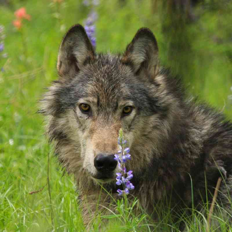 Gray wolf in green grass