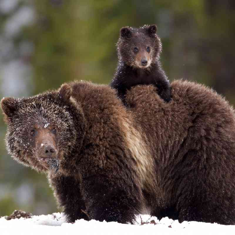 Grizzly Bears, James Yule