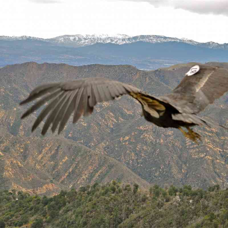 California Condor Hopper Mountain National Wildlife Refuge, CA