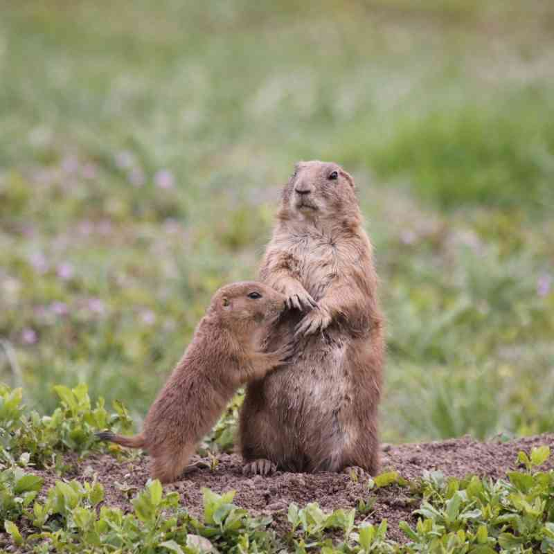 Prairie dog mom and pup