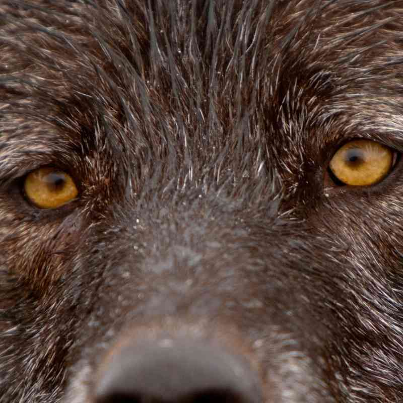 Gray wolf eyes Denali AK