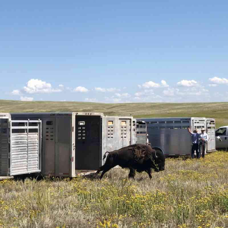 One of the first bison from Yellowstone National Park arrives in trailers to Fort Peck, Montana