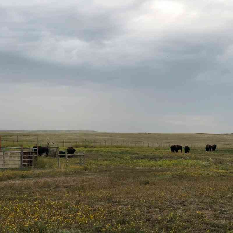 Eight bison meander through a pasture at Fort Peck in Montana
