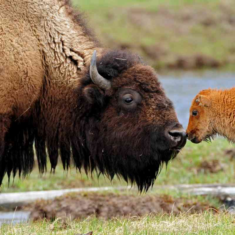 Bison cow and calf Madison River in Yellowstone National Park