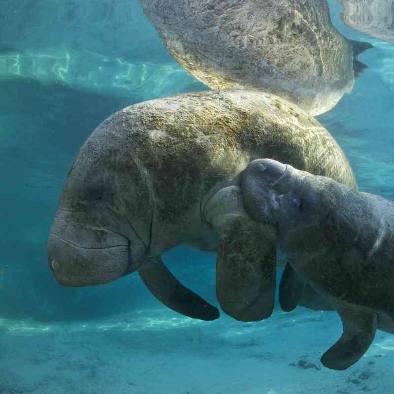 Manatee with baby
