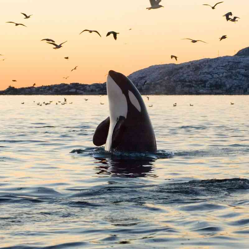 southern resident orca