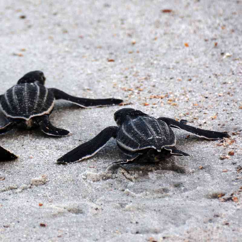 Leatherback sea turtle hatchlings leaving the nest