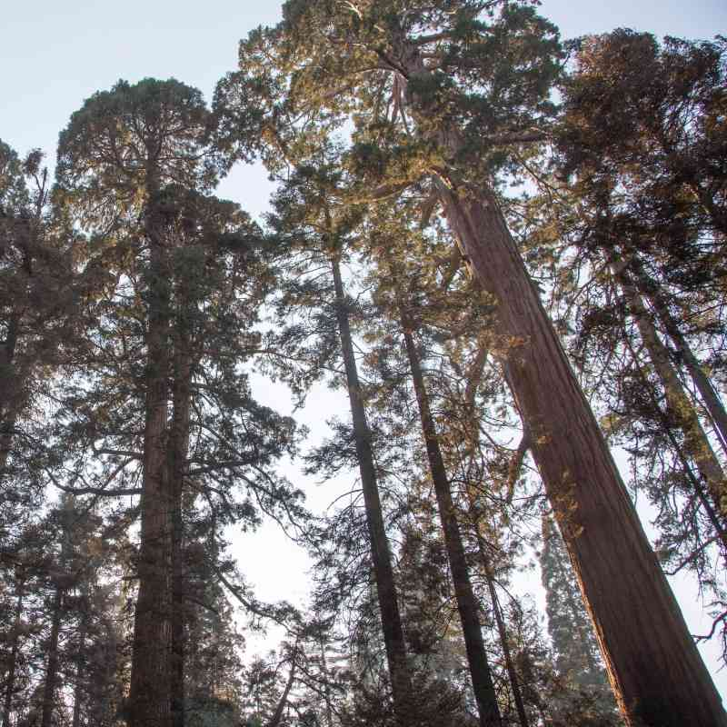 Sequoia Trees in the Sierra National Forest