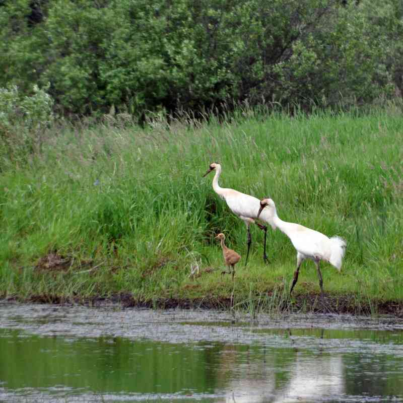 Whooping crane family
