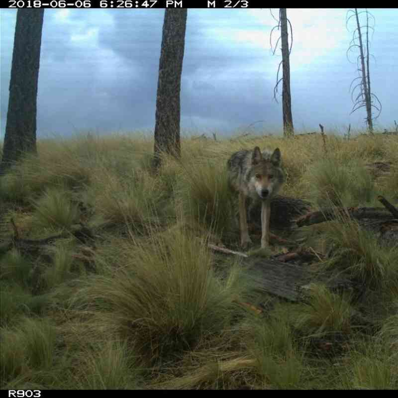 Mexican gray wolf on camera trap
