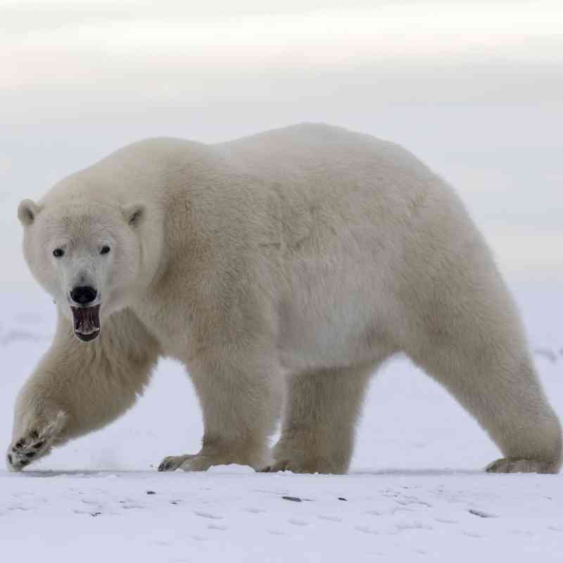 Polar bear walking in Arctic Refuge