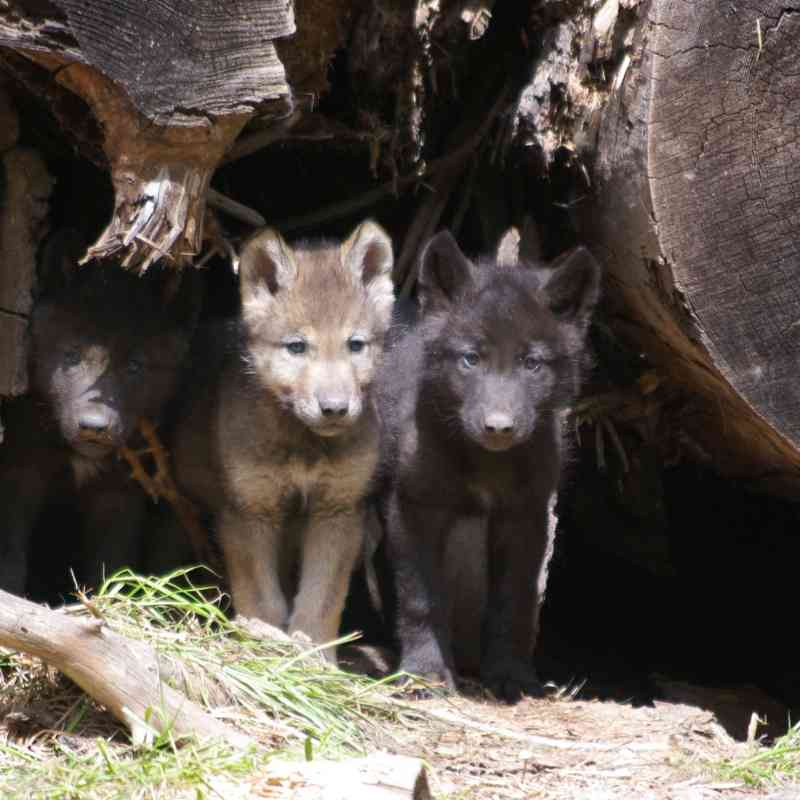 Wolf pups, Wenaha Pack