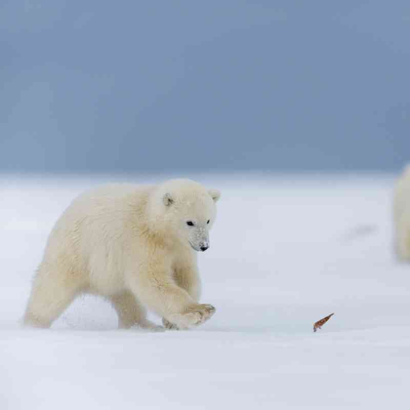 Polar bear cubs chasing a leaf