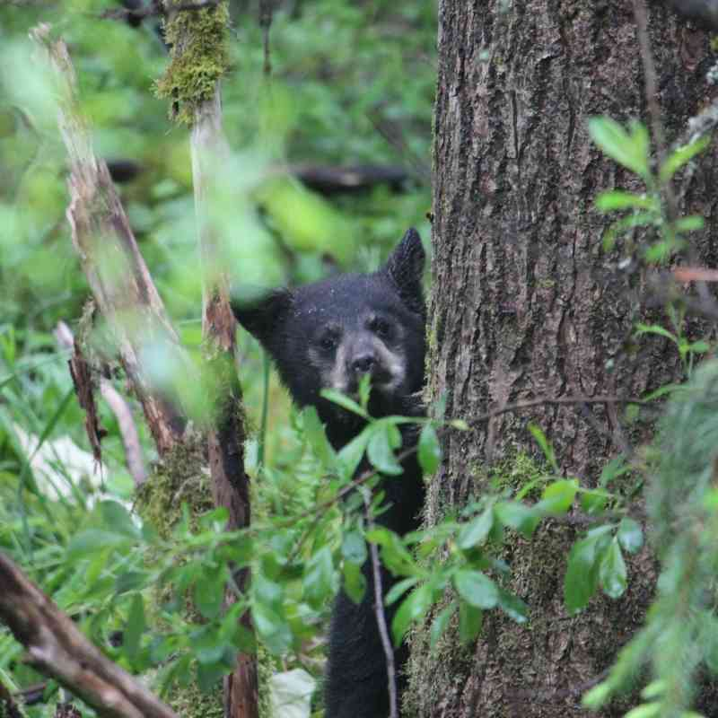 Baby black bear Tongass