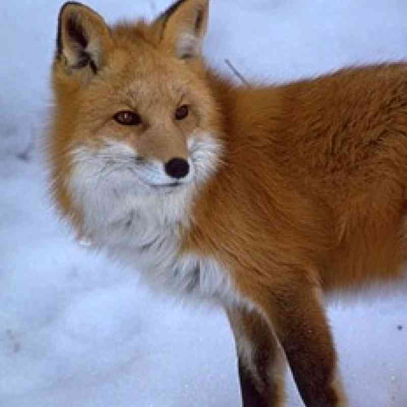 Sierra-Nevada-Red-Fox