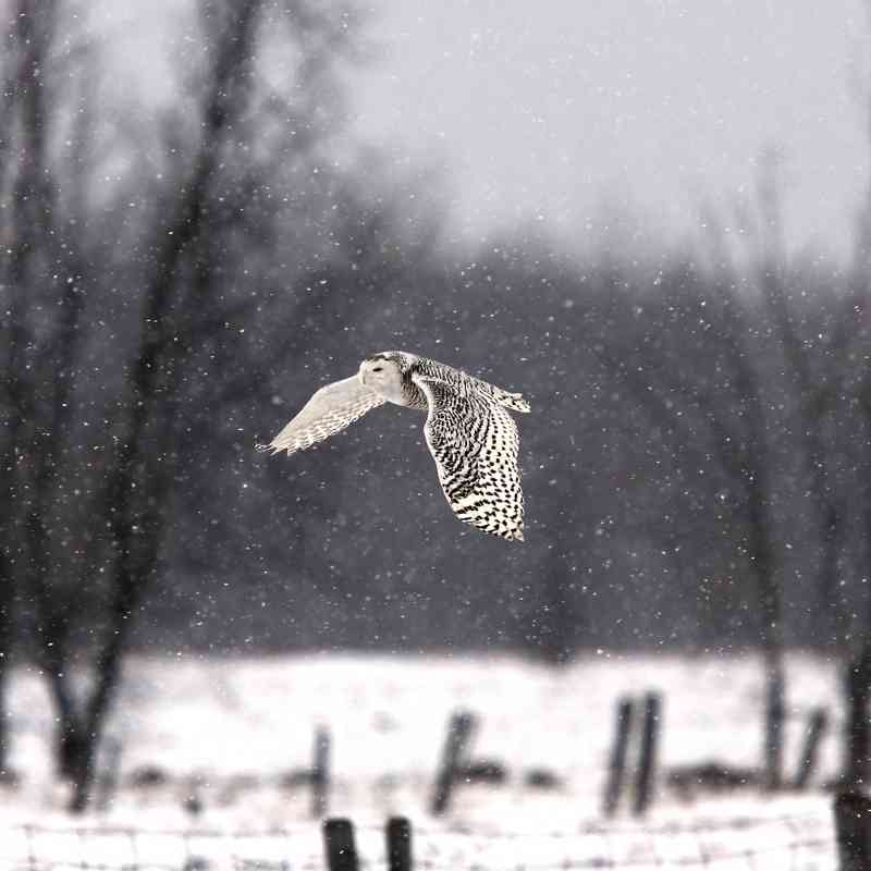 Snowy Owl flying Ste-Rose, Ontario, Canada