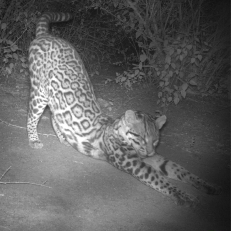 Ocelot caught on camera trap