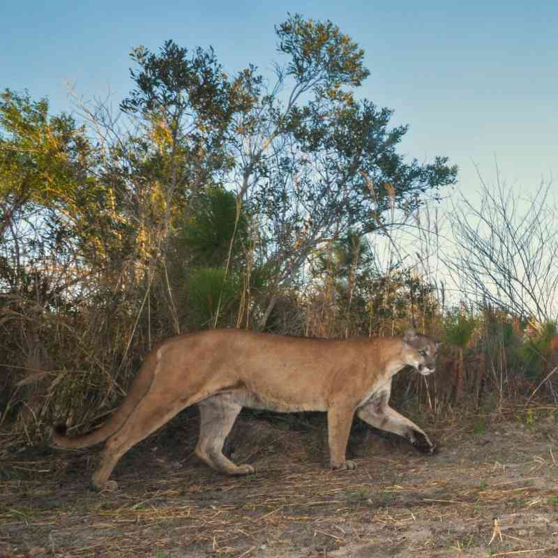 Florida panthers caught on trail camera