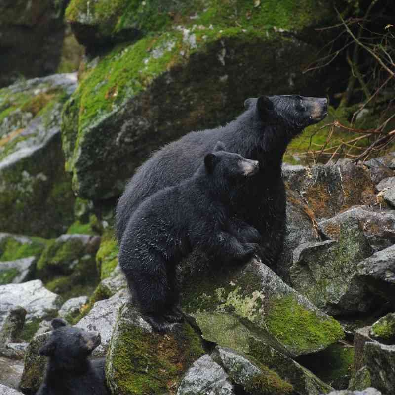 Black bears on rocks above Anan Creek Tongass NF