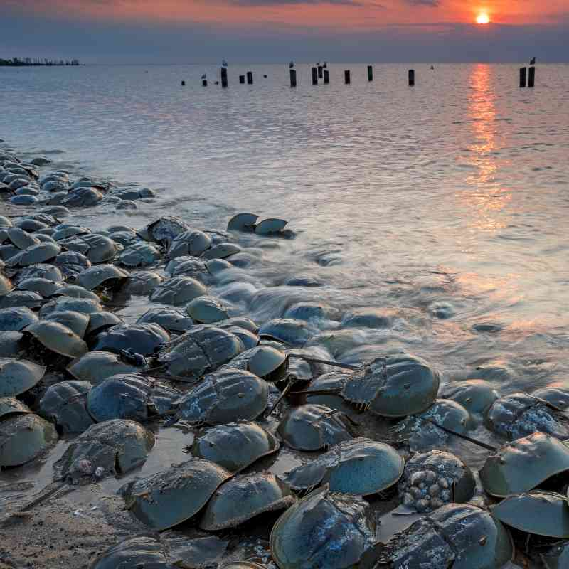 Horseshoe Crabs on a beach
