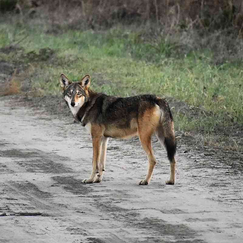 Red wolf in Alligator River NWR